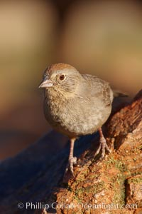 Canyon towhee, Pipilo fuscus, Amado, Arizona