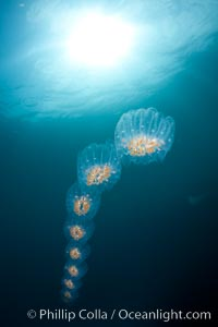 Colonial planktonic pelagic tunicate, adrift in the open ocean, forms rings and chains as it drifts with ocean currents, Cyclosalpa affinis, San Diego, California