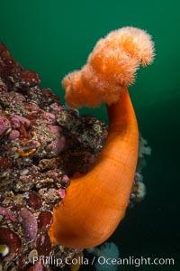 Plumose Anemone, Metridium farcimen, Hornby Island, British Columbia. Hornby Island, British Columbia, Canada, Metridium farcimen, natural history stock photograph, photo id 32815