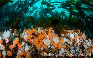 Plumose anemones and Bull Kelp on British Columbia marine reef, Browning Pass, Vancouver Island, Canada, Metridium senile, Nereocystis luetkeana