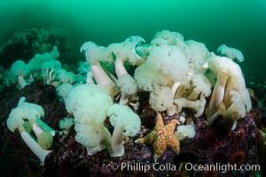 Giant Plumose Anemones cover underwater reef, Browning Pass, northern Vancouver Island, Canada, Metridium farcimen