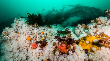 Plumose anemones cover the ocean reef, Browning Pass, Vancouver Island, Canada, Metridium senile