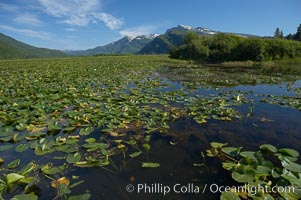 Pond covered with water lilys, near Silver Salmon Creek. Lake Clark National Park, Alaska, USA, natural history stock photograph, photo id 19086