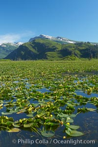 Pond covered with water lilys, near Silver Salmon Creek, Lake Clark National Park, Alaska