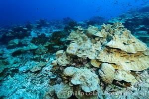 Plates of Porites arnaudi coral, Clipperton Island. Clipperton Island, France, Porites arnaudi, natural history stock photograph, photo id 33054