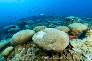Coral reef expanse composed primarily of porites lobata, Clipperton Island, near eastern Pacific. Clipperton Island, France, Porites lobata, natural history stock photograph, photo id 32998
