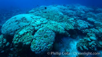 Coral reef expanse composed primarily of porites lobata, Clipperton Island, near eastern Pacific, Porites lobata