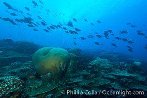 Coral reef of Porites sp, Porites lobata (rounded) and Porites arnaudi (platelike) comprise coral reef at Clipperton Island, Porites lobata, Porites arnaudi