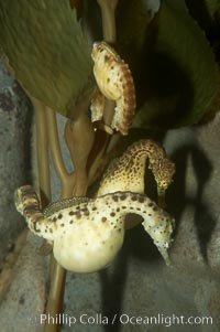 Pot-bellied seahorse, male, carrying eggs.  The developing embryos are nourished by individual yolk sacs, and oxygen is supplied through a placenta-like attachment to the male.  Two to six weeks after fertilization, the male gives birth.  The babies must then fend for themselves, and few survive to adulthood, Hippocampus abdominalis