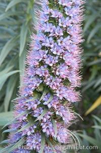 Pride of Madeira blooms in spring, Carlsbad, California, Echium fastuosum