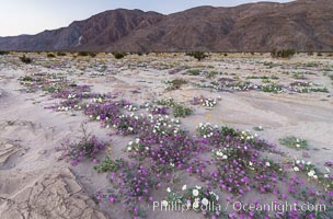 Dune evening primrose (white) and sand verbena (purple) mix in beautiful wildflower bouquets during the spring bloom in Anza-Borrego Desert State Park, Abronia villosa, Borrego Springs, California