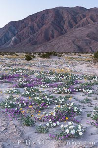 Dune evening primrose (white) and sand verbena (purple) mix in beautiful wildflower bouquets during the spring bloom in Anza-Borrego Desert State Park, Oenothera deltoides, Abronia villosa, Borrego Springs, California