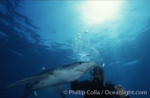 Blue shark, Prionace glauca, San Diego, California