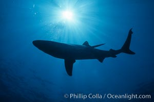 Blue shark. San Diego, California, USA, Prionace glauca, natural history stock photograph, photo id 01003