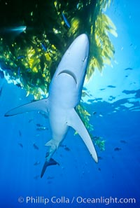 Blue shark underneath drift kelp, open ocean, Prionace glauca, San Diego, California