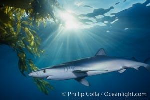 Blue shark and  offshore drift kelp, Prionace glauca, Macrocystis pyrifera, San Diego, California