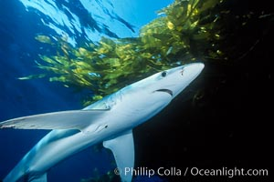 Blue shark and offshore drift kelp. San Diego, California, USA, Prionace glauca, Macrocystis pyrifera, natural history stock photograph, photo id 01077