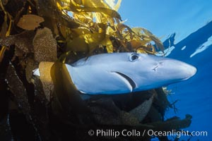 Blue shark underneath drift kelp, open ocean, Prionace glauca, Macrocystis pyrifera, San Diego, California