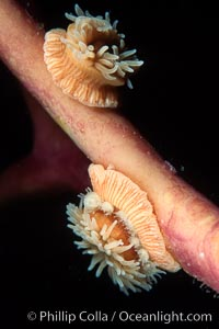 Proliferating anemone with attached juveniles, growing on kelp stipe, Epiactis prolifera, Monterey, California