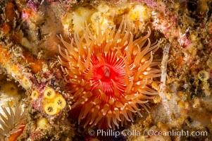 Brooding proliferating sea anemone. Santa Barbara Island, California, USA, Epiactis prolifera, natural history stock photograph, photo id 10162