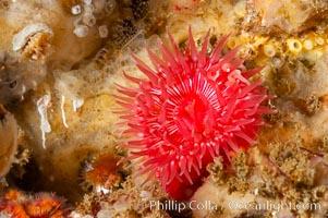 Image 10159, Brooding proliferating sea anemone. Santa Barbara Island, California, USA, Epiactis prolifera