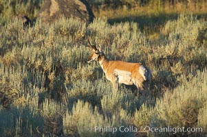 Pronghorn antelope, Lamar Valley.  The Pronghorn is the fastest North American land animal, capable of reaching speeds of up to 60 miles per hour. The pronghorns speed is its main defense against predators, Antilocapra americana, Yellowstone National Park, Wyoming