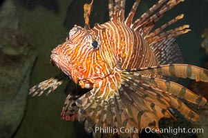 Lionfish., Pterois volitans, natural history stock photograph, photo id 12924