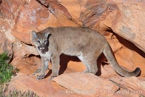 Mountain lion, Puma concolor