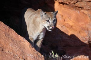 Mountain lion., Puma concolor, natural history stock photograph, photo id 12334