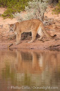 Image 12339, Mountain lion., Puma concolor, Phillip Colla, all rights reserved worldwide. Keywords: animal, animalia, carnivora, carnivore, catamount, chordata, concolor, cougar, creature, deer tiger, felidae, feliformia, felinae, le�n, le�n americano, le�n bayo, le�n colorado, le�n de monta�a, mammal, mitzli, mountain lion, moutain lion, nature, onza bermeja, panther, puma, puma concolor, red tiger, vertebrata, vertebrate, wildlife.