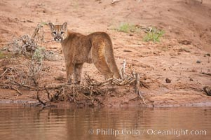 Mountain lion., Puma concolor, natural history stock photograph, photo id 12342