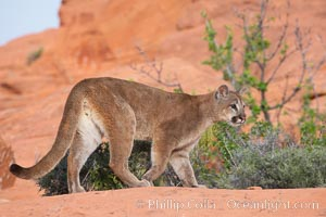 Mountain lion., Puma concolor, natural history stock photograph, photo id 12348