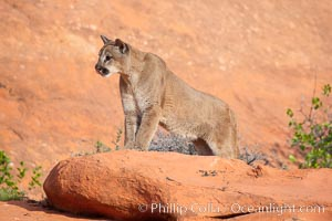 Mountain lion., Puma concolor, natural history stock photograph, photo id 12351