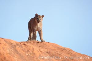 Mountain lion., Puma concolor, natural history stock photograph, photo id 12372
