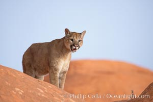 Mountain lion., Puma concolor, natural history stock photograph, photo id 12375