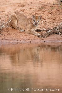Mountain lion., Puma concolor, natural history stock photograph, photo id 12390