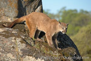 Mountain lion, Sierra Nevada foothills, Mariposa, California., Puma concolor,  Copyright Phillip Colla, image #15792, all rights reserved worldwide.