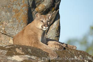 Mountain lion, Sierra Nevada foothills, Mariposa, California., Puma concolor,  Copyright Phillip Colla, image #15793, all rights reserved worldwide.