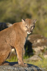 Mountain lion, Sierra Nevada foothills, Mariposa, California., Puma concolor,  Copyright Phillip Colla, image #15802, all rights reserved worldwide.