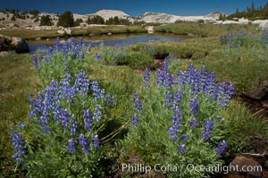Purple lupine flowers bloom in  late summer, along a stream that feeds to Lake Evelyn  in the high Sierra Nevada near Vogelsang High Sierra Camp, Yosemite National Park, California