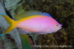 Purple Queen anthias, female, Pseudanthias pascalus