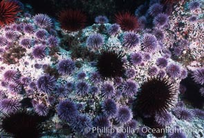 Purple and red urchins. Santa Barbara Island, California, USA, Strongylocentrotus purpuratus, Strogylocentrotus franciscanus, natural history stock photograph, photo id 04731