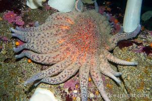 Sun starfish.  This enormous starfish can have up to 24 arms, grow to 30 inches in diameter and have as many as 15000 tube feet.  Sun stars are usually pink, purple or brown in color although will occasionally be red or yellow. They can regrow lost arms, Pycnopodia helianthoides