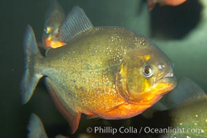 Red-bellied piranha.  The piranhas teeth are so sharp that Amazonian Indians use them as knives.  Each tooth has sawlike edges that allow the fish to slice through prey.  The teeth are continually replaced throughout the piranhas life.  Piranhas are illegal to import, sell or own in California, Pygocentrus nattereri