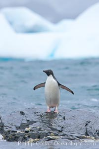 Adelie penguin, Pygoscelis adeliae, Shingle Cove, Coronation Island, South Orkney Islands, Southern Ocean