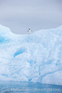 A tiny Adelie penguin stands atop an iceberg, Pygoscelis adeliae, Paulet Island