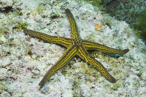Pyramid sea star, Pharia pyramidata, Sea of Cortez