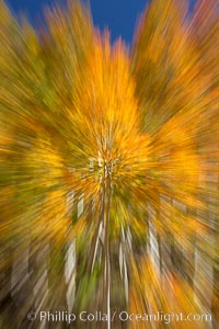 An explosion of yellow and orange color, aspen trees changing color in fall, autumn approaches, Populus tremuloides, Bishop Creek Canyon, Sierra Nevada Mountains