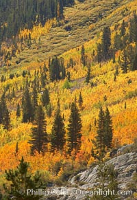 Yellow aspen trees in fall, line the sides of Bishop Creek Canyon, mixed with  green pine trees, eastern sierra fall colors. Bishop Creek Canyon, Sierra Nevada Mountains, Bishop, California, USA, Populus tremuloides, natural history stock photograph, photo id 23335