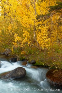 Aspens turn yellow in autumn, changing color alongside the south fork of Bishop Creek at sunset. Bishop Creek Canyon, Sierra Nevada Mountains, Bishop, California, USA, Populus tremuloides, natural history stock photograph, photo id 23338